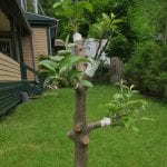 7. An apple tree graft outside CFA's Office - take to Apple Tree Grafting program page (2)