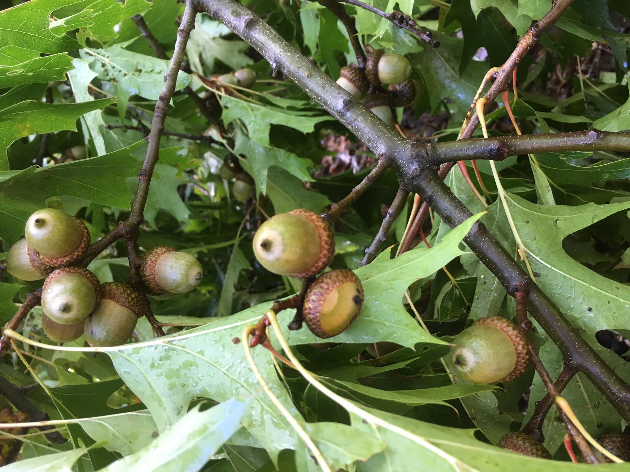 Red Oak, Tree, Acorns, Wildlife food