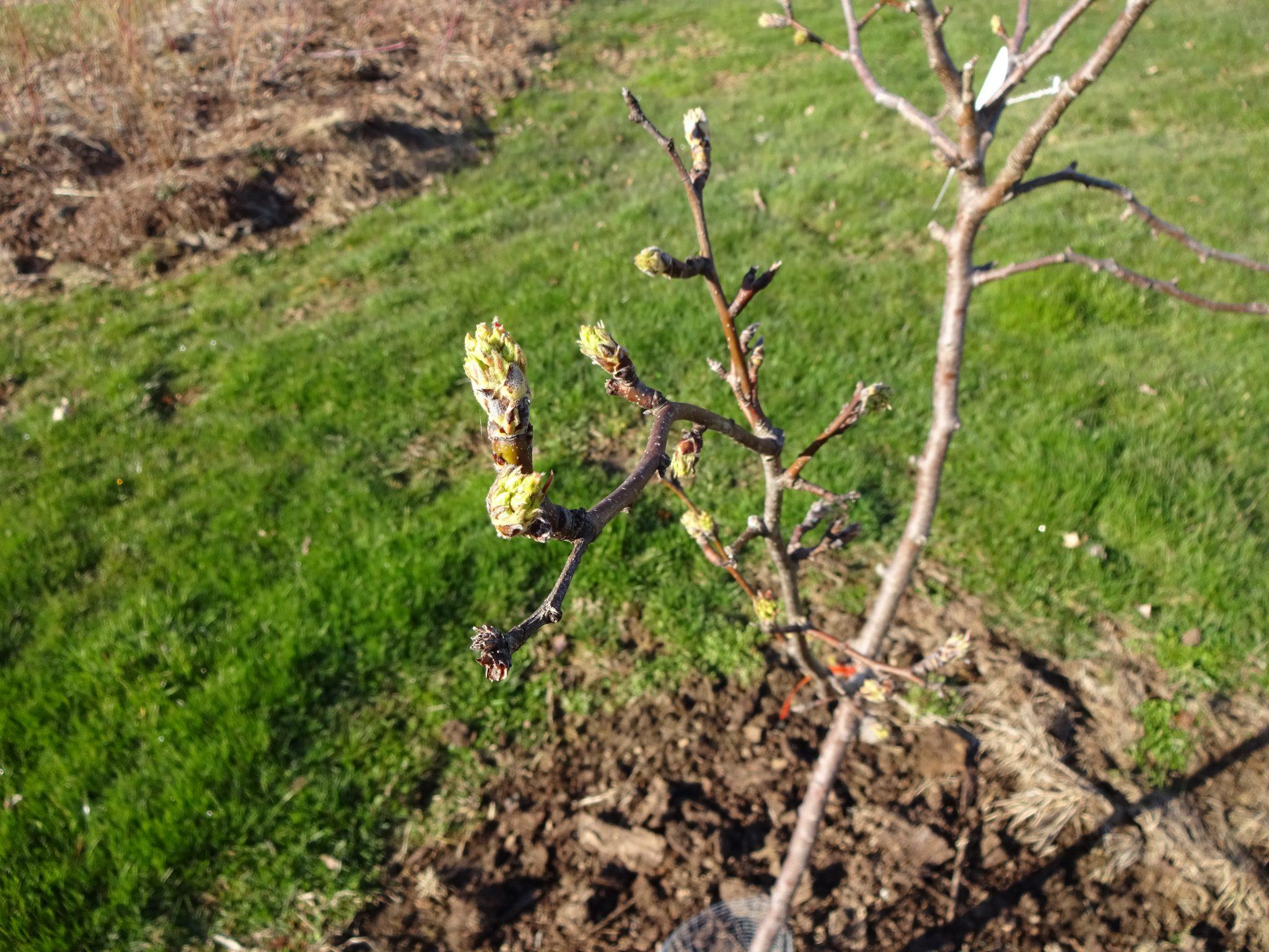 Spring Bud Burst