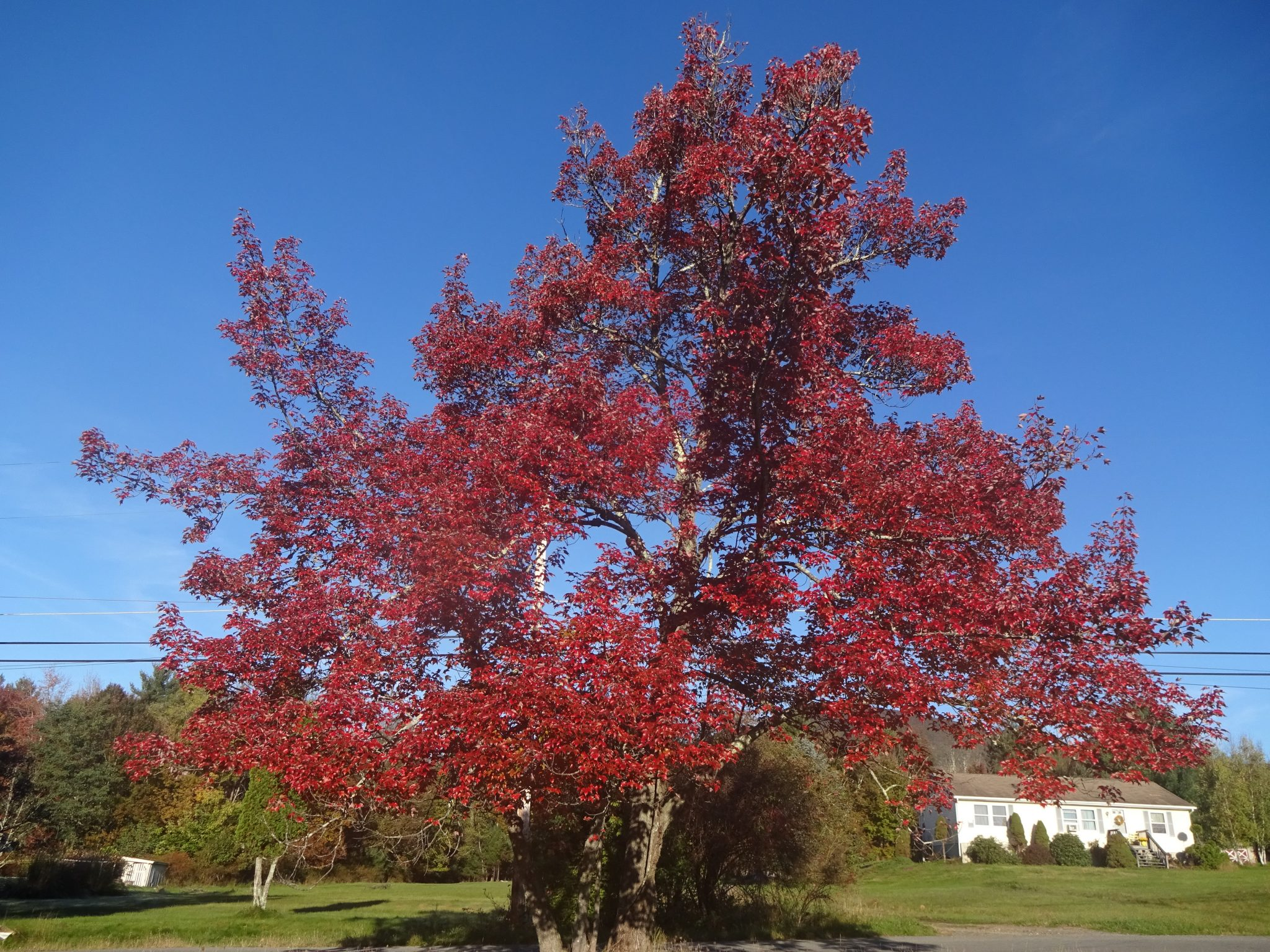 One Exceptional Red Maple