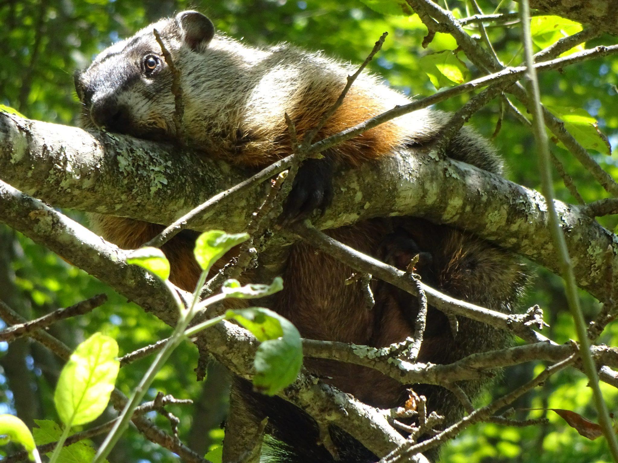 Tree-Climbing Groundhogs