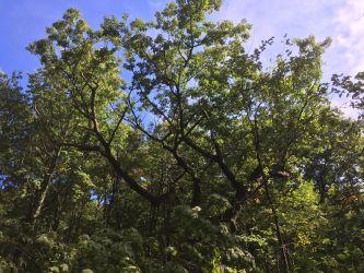 Red oak tree released